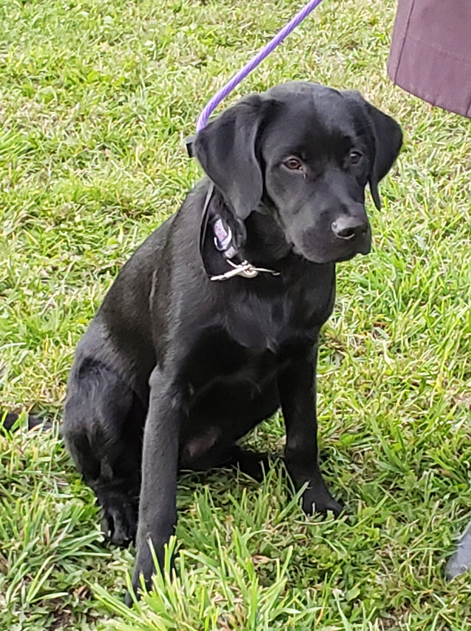 dog training dog black lab
